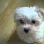 Трогательная песня маленького щенка