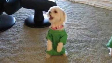 видео собака поёт