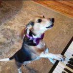 Собачий романс: пёс Бадди Меркюри играет на рояле и самозабвенно поёт
