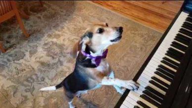 Смекшная собака Бадди играет на пианино и поёт - видео