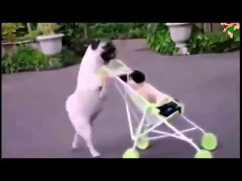 Смешные собаки, весёлые ребята! Просто заводные!