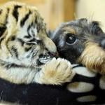 Фотофакт: Необычная дружба в мире животных