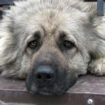 У собаки начинается депрессия, если она не может спасти человека
