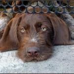 Логическое мышление собак больше похоже на человеческое, чем на волчье – ученые