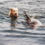 В дельфиновом рифе в Эйлате живет собака по кличке Джокер, которая считает себя дельфином...