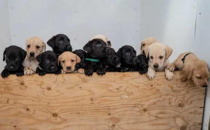 14 симпатичных щенков лабрадора