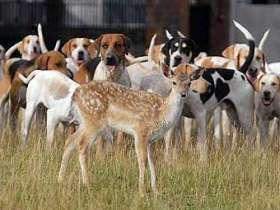 Гончие собаки приняли в свору олененка