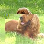 Самой агрессивной породой собак в мире признан английский кокер-спаниель