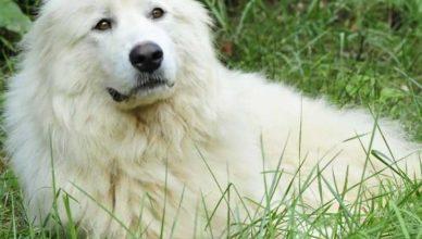 список опасных собак - акбаш