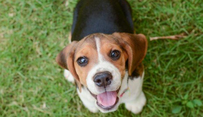 Собаки единственные среди животных способны по-человечески смотреть на человека