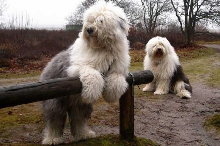 бобтейлы - редкая порода собак