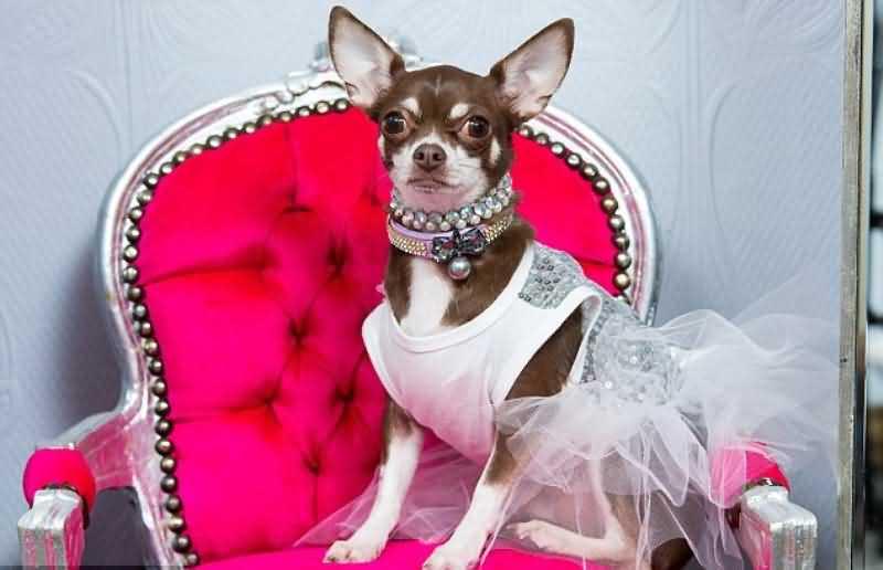 Хозяйка чихуахуа не жалеет денег на свою собаку