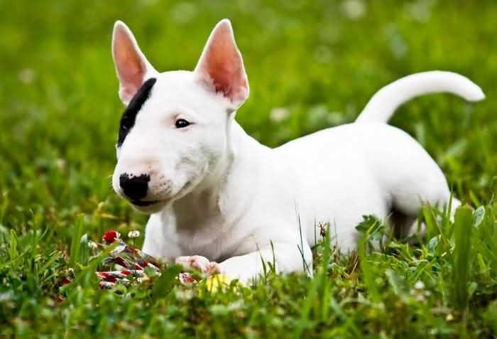несмотря на странную внешность, бультерьер - очень дружелюбная собака