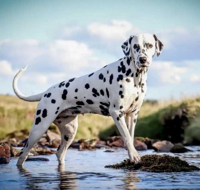 далматинец - одна из самых быстрых собак