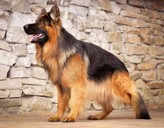 длинношерстная немецкая овчарка - дружелюбная собака