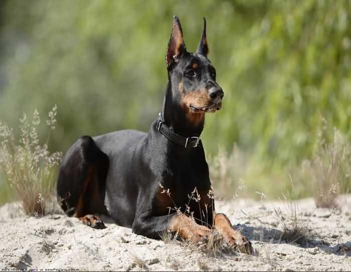 доберманы одни из самых быстрых собак