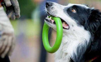 можно ли старую собаку научить новым трюкам и командам