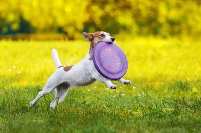 фрисби - хороший новогодний подарок для собаки