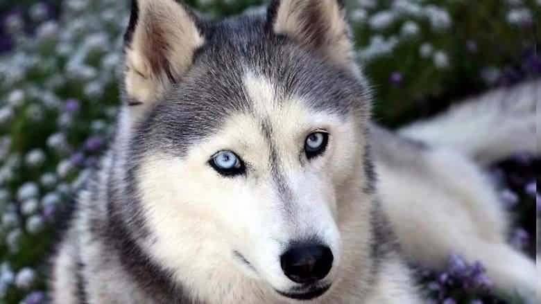 дивный взгляд голубых глаз хаски