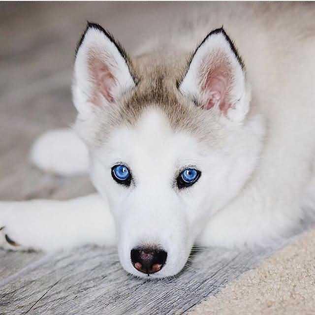 белоснежная шубка щенка хаски и яркие голубые глаза