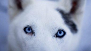 хаски с голубыми глазами