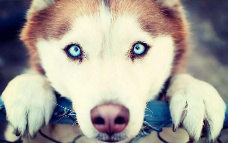 Завораживающий взгляд голубых глаз хаски