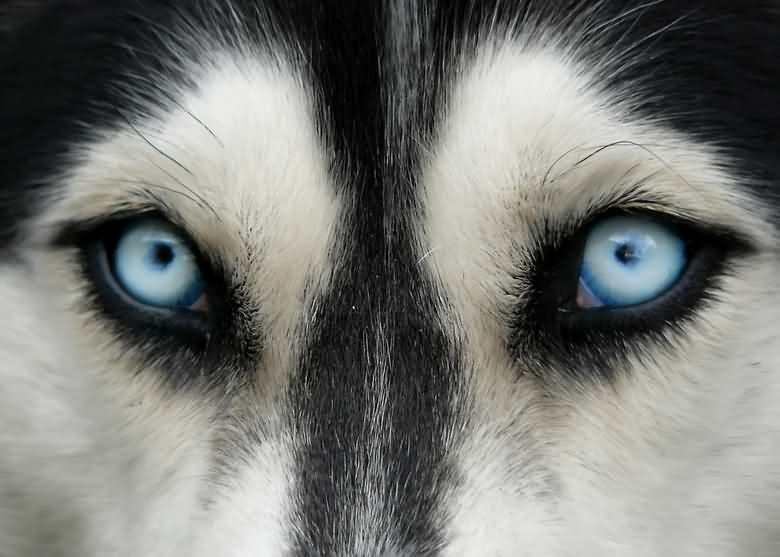 почему у хаски голубые глаза