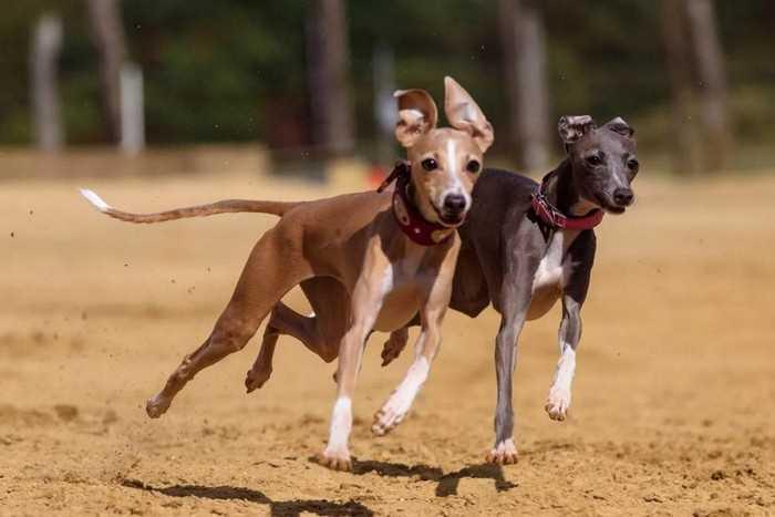 самая быстрая собака в мире - грейхаунд