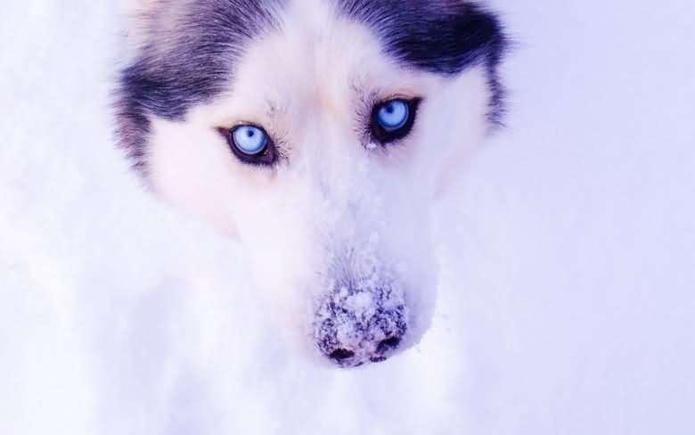 красивые глаза хаски