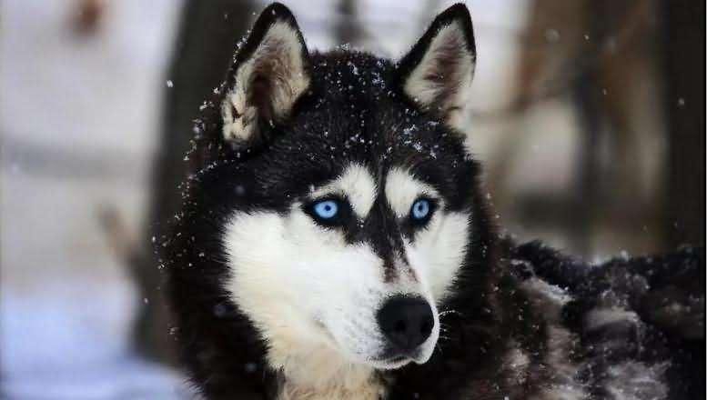 глаза прекрасного хаски