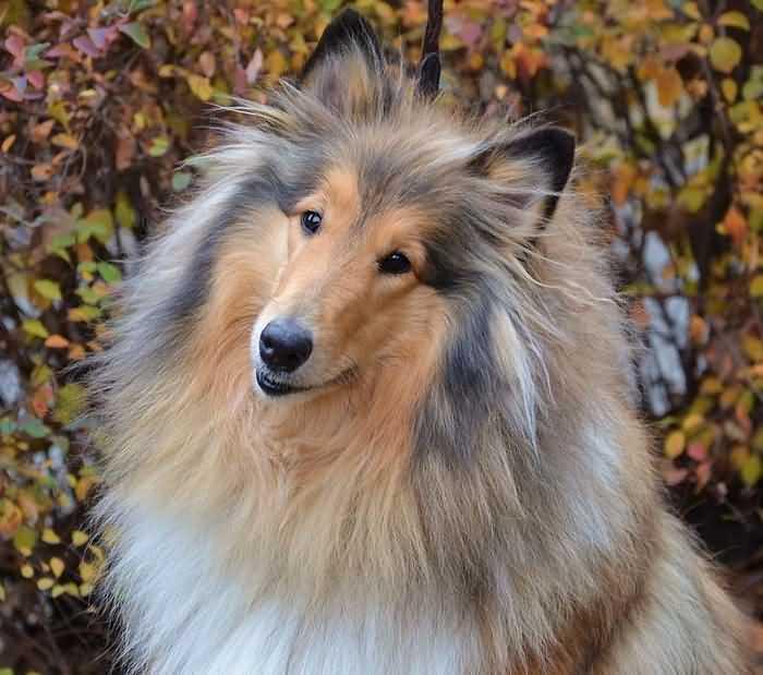 колли - самая дружелюбная порода собак
