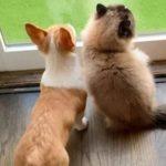 Щенок корги и кот подружились, сидя в карантине