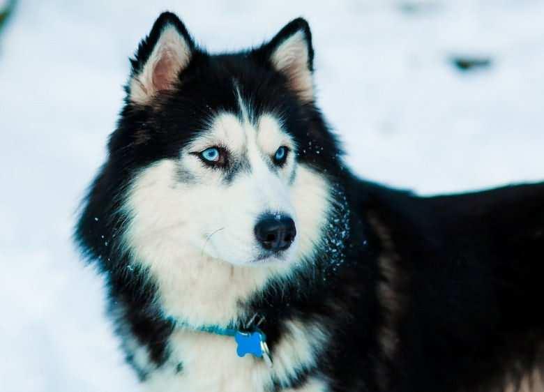 снежный хаски с голубыми глазами