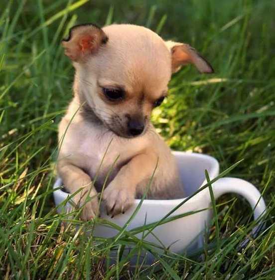 крохотная собачка в чашке