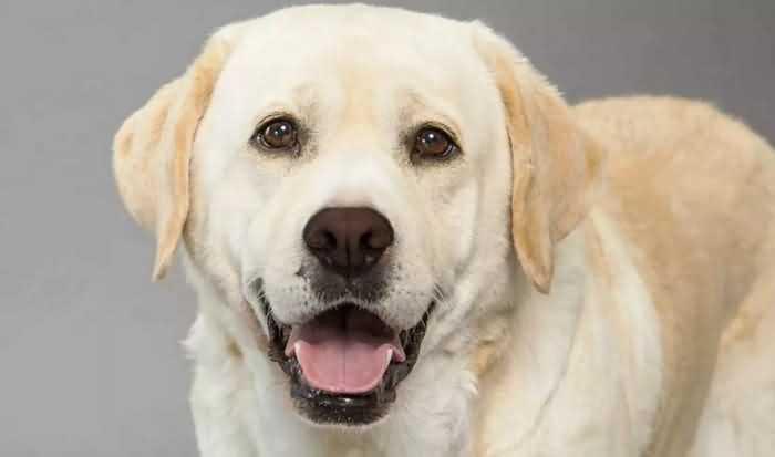 лабрадор-ретривер одна из самых дружелюбных собак