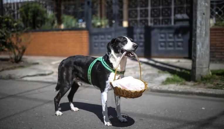 Пёс Ниньо сам ходит в магазин