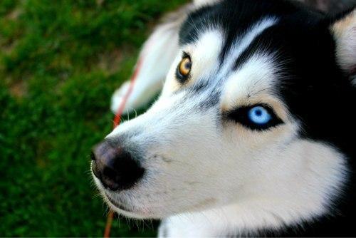 Два разноцветных глаза хаски