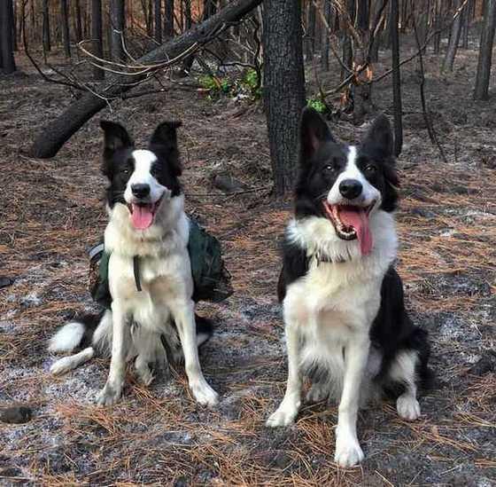 эти собаки распространяют семена деревьев