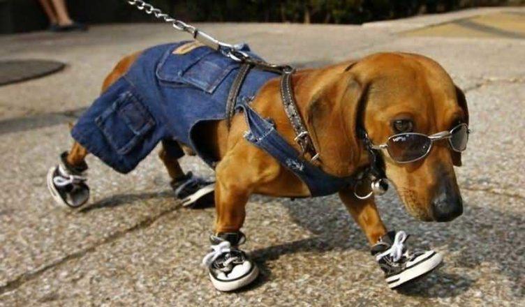 собачий модник на прогулке