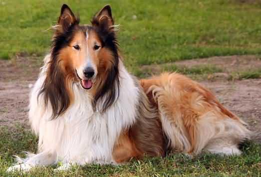 колли - добрые собаки