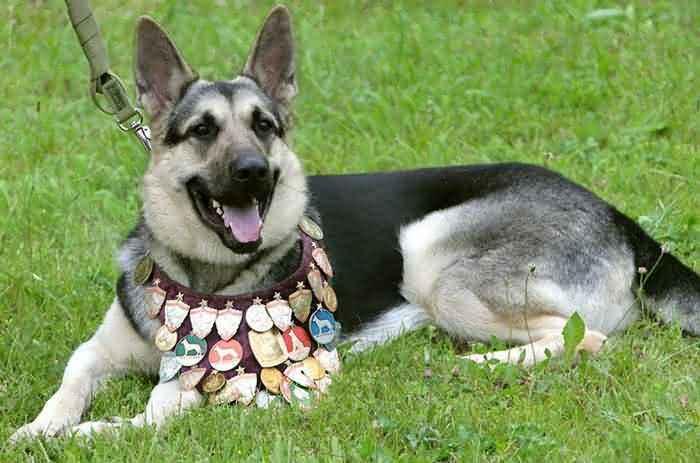 породистая собака с медалями - про собак