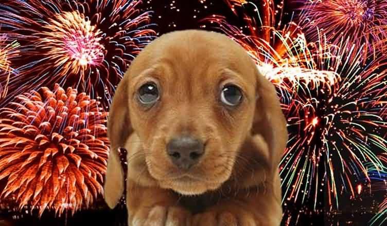 Как не потерять собаку в новогодние праздники