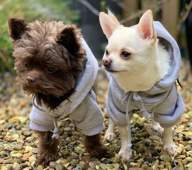 Ромео и Реджи, чихуахуа в трикуотажных толстовках