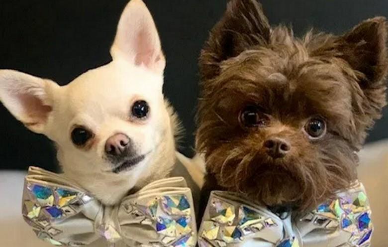 избалованные собаки Реджи и Ромео