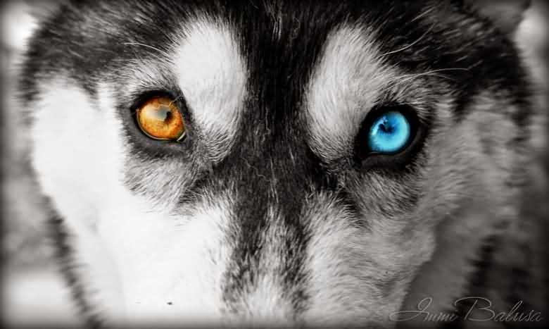 Карий и голубой - глаза хаски