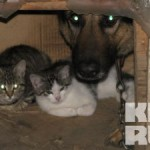В Калининграде овчарка приютила троих котят-сирот