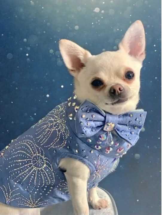 чихуахуа Ромео в дизайнерской одежде
