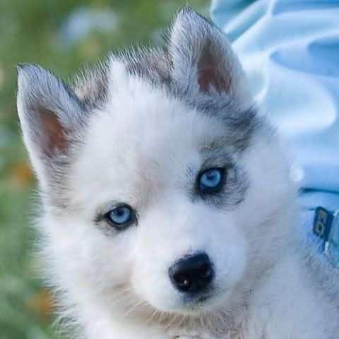Голубые глаза хаски - красивые фото
