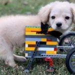 Собачка родилась без передних лап, 12-летний мальчик собрал для нее коляску из  конструктора лего