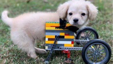 собака без лапок на инвалидной коляске